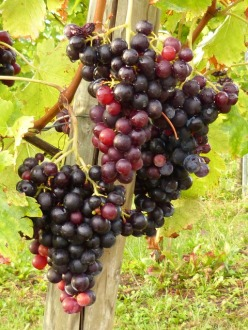 vines-wine-grapes-vineyard-fruit